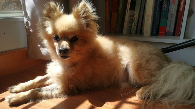 VIDEO: Dog rescues tiny Pomeranian pal from the pool   KECI